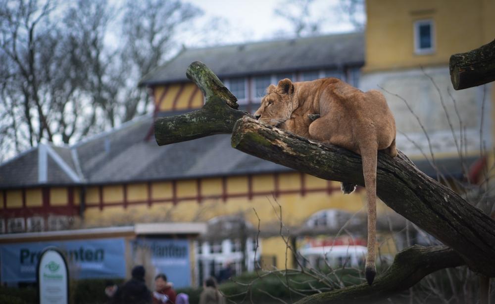 Photo credit : Jo-Anne McArthur - Zoo's - 'Lioness, Copenhagen Zoo. Denmark 2015'