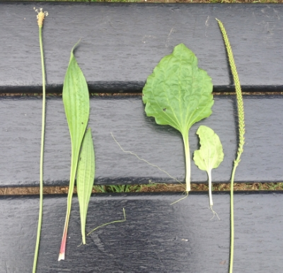 (L) P.lanceolata flower stalk and leaves. (R) P.major leaf and flower stalk.