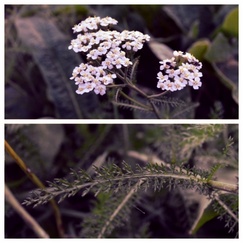 Yarrow flowers (top), and the squirrell-tail- like leaves (Bottom)