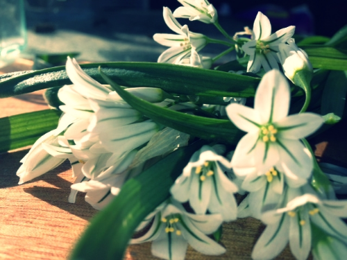 Wild leek/three-cornered leek