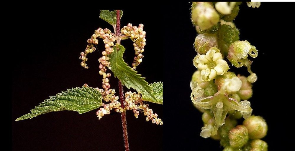 Male flowers. They look  like little pumpkins when closed. The close-up picture on the right shows an open flower with curled in stamens (white, upper flower) and below that, a translucent flower with the stamens un-flung and pollen dispersed. These will not produce the edible seeds, only the pollen.