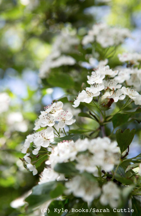 Hawthorn flowers in May (C) Kyle Books/Sarah Cuttle
