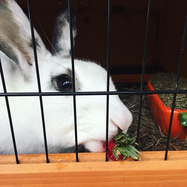Cookie, our resident farm bunny is enjoying lunch leftovers!