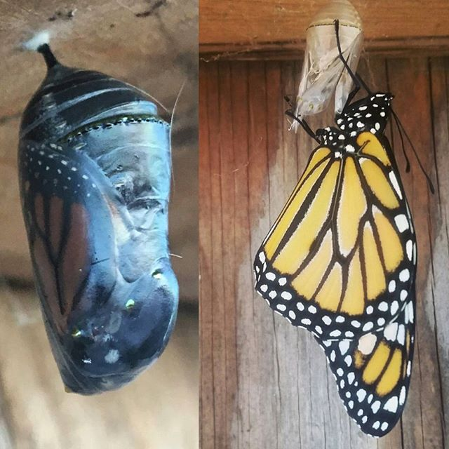 Our resident monarchs are emerging from metamorphosis!! If you stop by the farm tomorrow during our stand hours (2-7pm) you might get lucky and see one of these beauties!