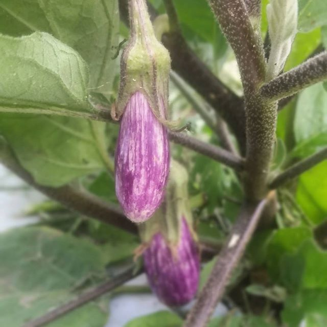 Baby fairy tale eggplants hanging in the fields! #fairytale #eggplantfordays #communityfarm #southshoregrown #organicfarming