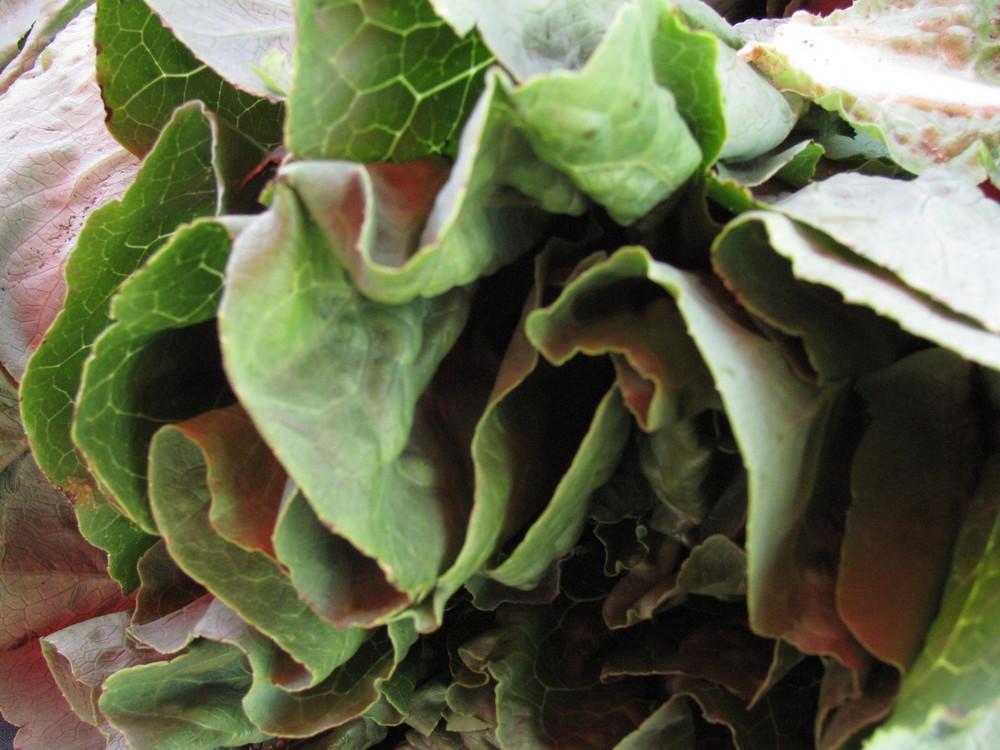 Saratoga Farmers Market lettuces from Watsonville