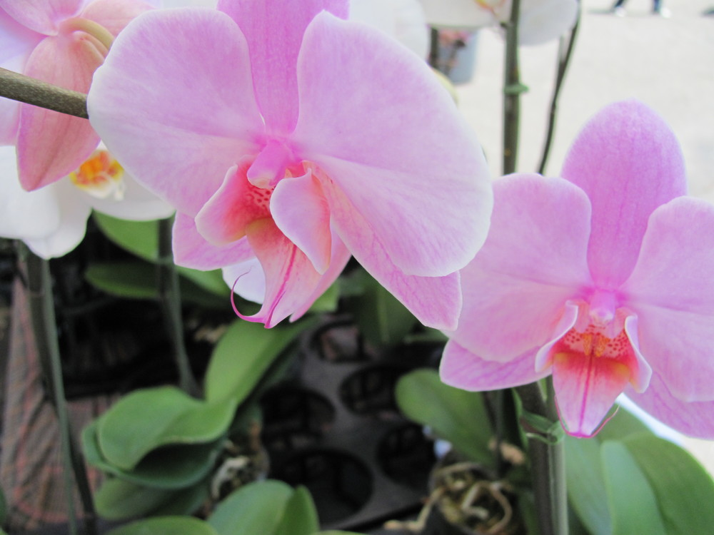 Saratoga Farmers Market orchids