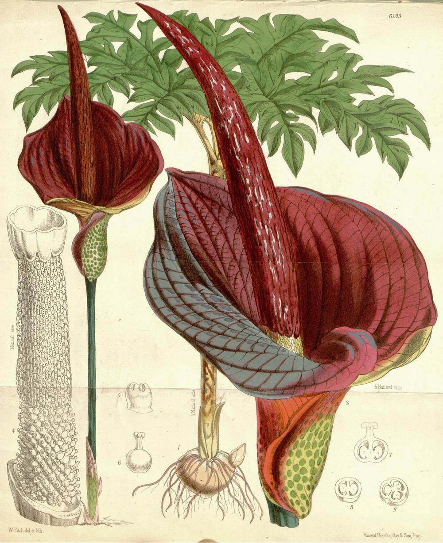 amorphallus konjac plant