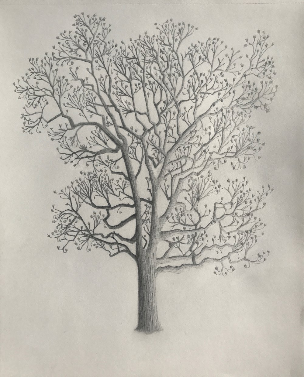 Winter Tulip Tree illustration by  Jessica Maffia