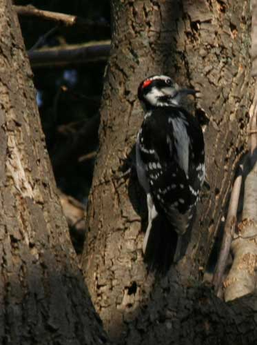 riverwoodwoodpecker