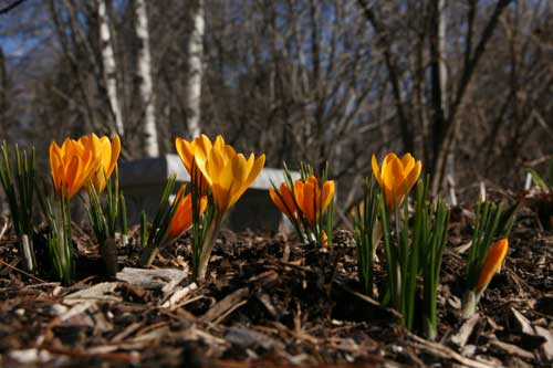 Riverwood, Mississauga crocus Copyright Christine Montague 2009