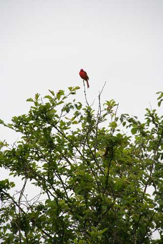 Riverwood cardinal in the rain Copyright Christine Montague 2009