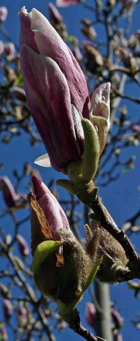 Magnolia bud, No bloom. Mother's Day 2011 Copyright Christine Montague