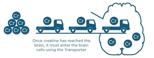 creatine-entering-brain.png