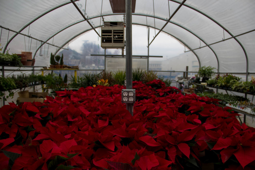 Poinsettas in Greenhouse.jpg