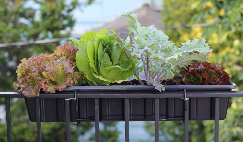 Red leaf lettuce, Romaine, Kale, and another red leaf lettuce