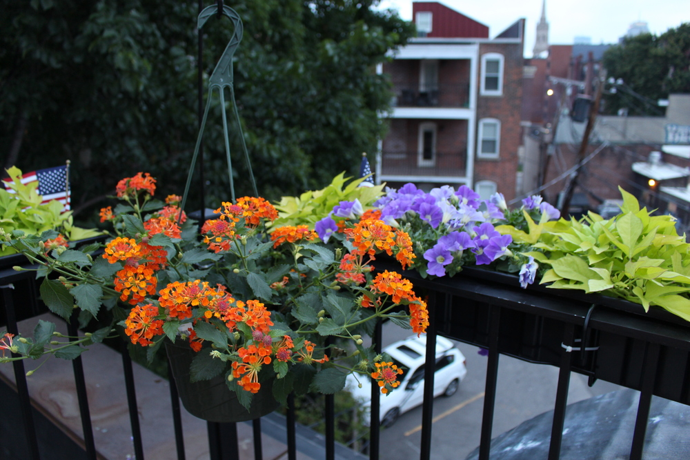 Potato vine, petunias, and orange lentana