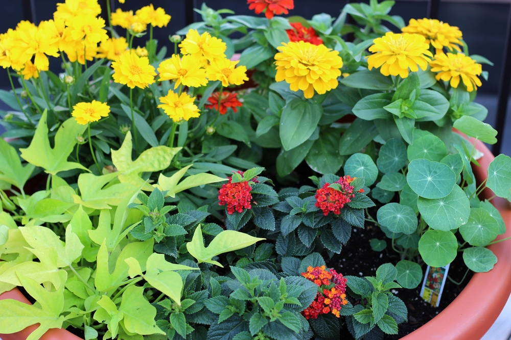 Clockwise from bottom left: potato vine, coreopsis, zinnias, nasturtium, and lentana