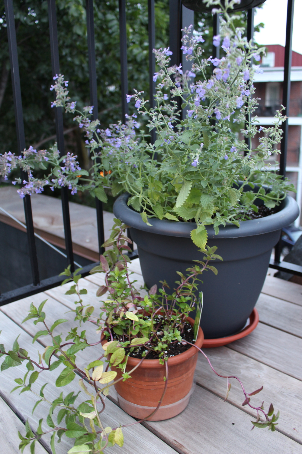 Cat mint in the large pot; Chocolate mint in the small. Mint should be kept to containers - it'll overtake large beds and strangle its neighboring plants.