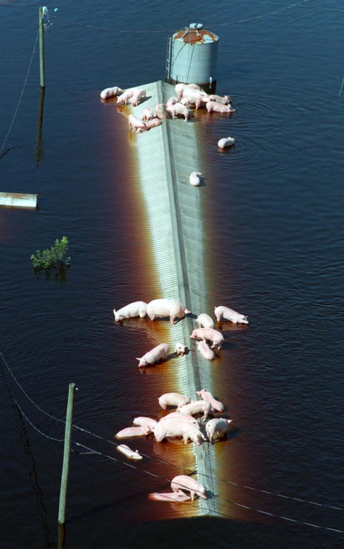 Pigs from a farm near Trenton, North Carolina, wait for rescue from floods. PHOTOGRAPH BY REUTERS from article