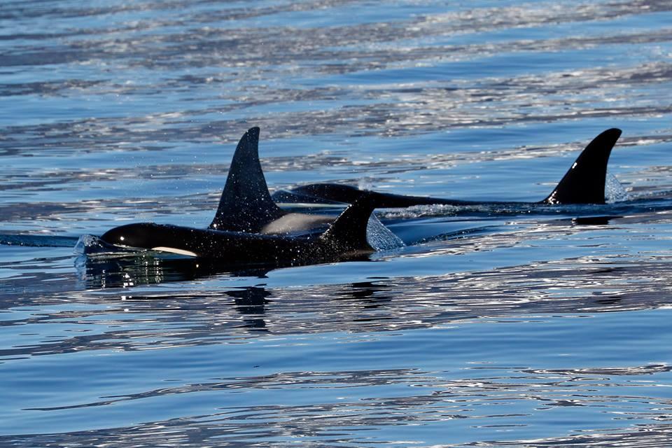 orcas 05_2017.jpg