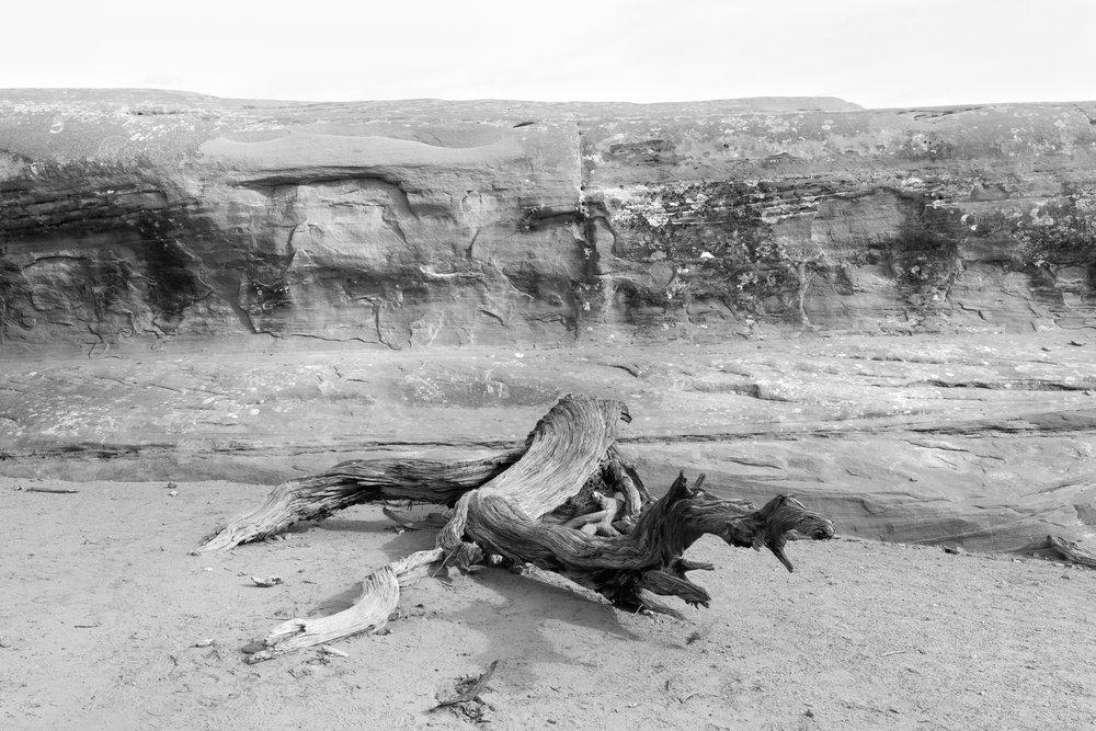 Downed Juniper Tree