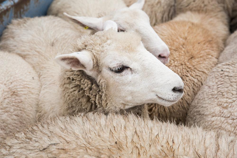 Glynwood Eva Deitch Photography Livestock-22.jpg