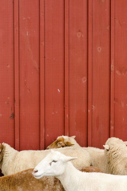 Glynwood Eva Deitch Photography Livestock-27.jpg