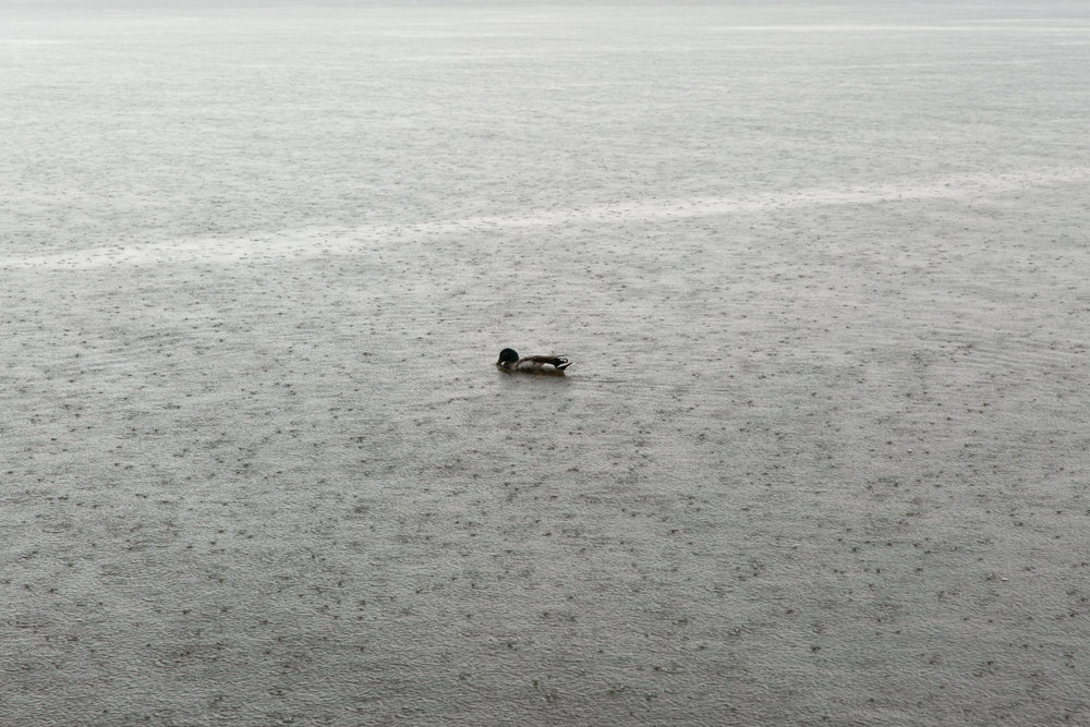 duck-hudsonriver-sittingrock-2.jpg