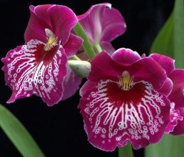 Miltoniopsis Orchid (Above) or more commonly known as the Pansy Face Orchid is another popular variety. They are prized for their large blooms that are sometimes even fragrant and for their many blooms and buds for each plant.