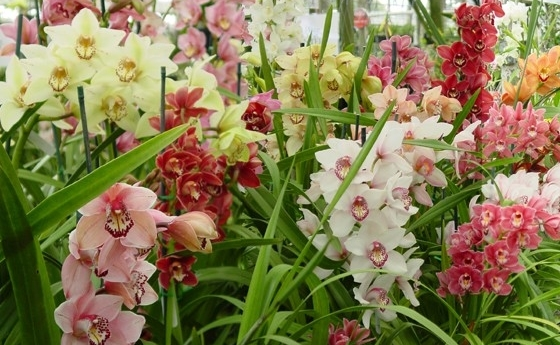 Cymbidium Orchids (Above) come into Long Stems as cut flowers all through the year but this time of year we get in these impressive plants. Make sure you have room for this large plant, some 3 or 4 flower spikes. They can even be moved outdoors in the shade during the summer months!