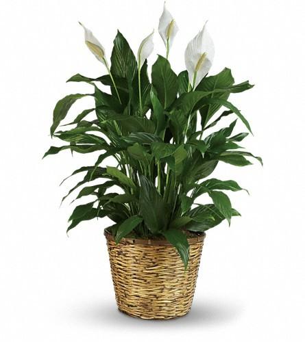 Simply Elegant Spathiphyllum - Large $104.95 -