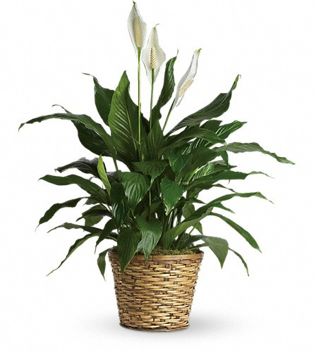 Simply Elegant Spathiphyllum - Medium $65 -