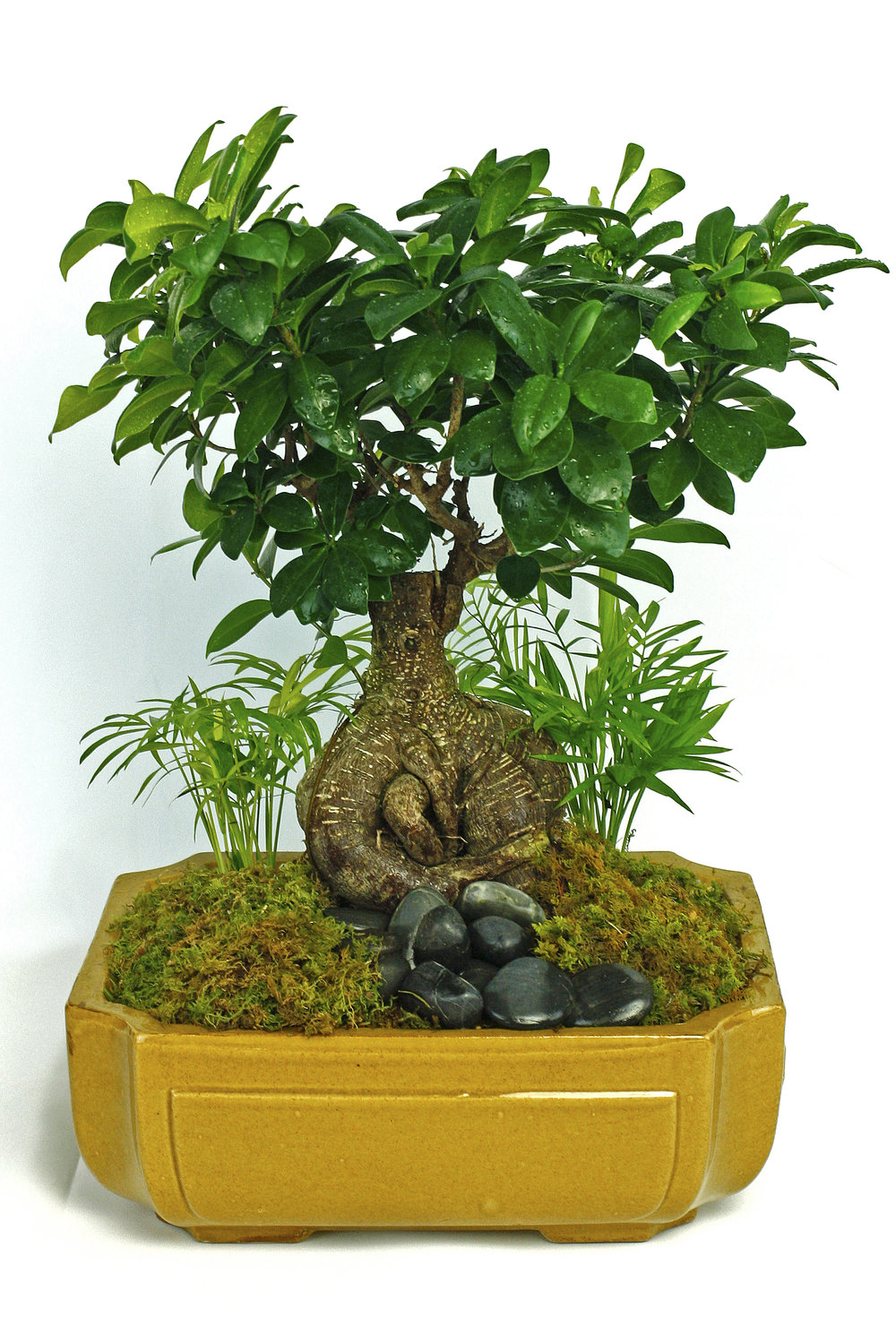 Tropical Bonsai Tree $50-$100 -