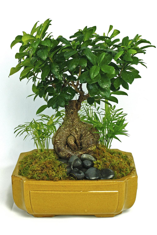 Tropical Bonsai Tree $50-$100 -