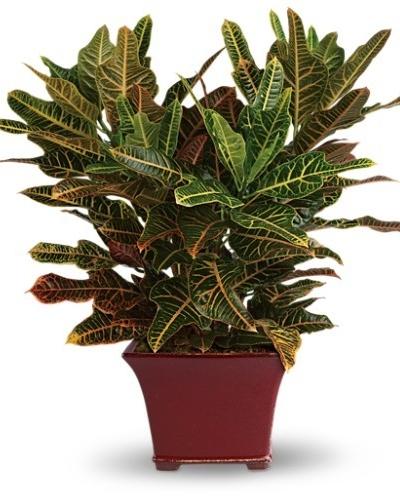 Stately Croton $70 -