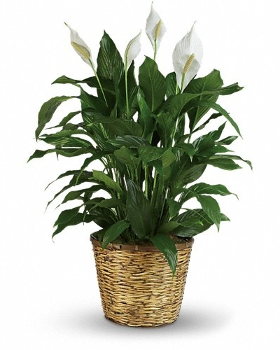 Simply Elegant Spathiphyllum - Large $105 -
