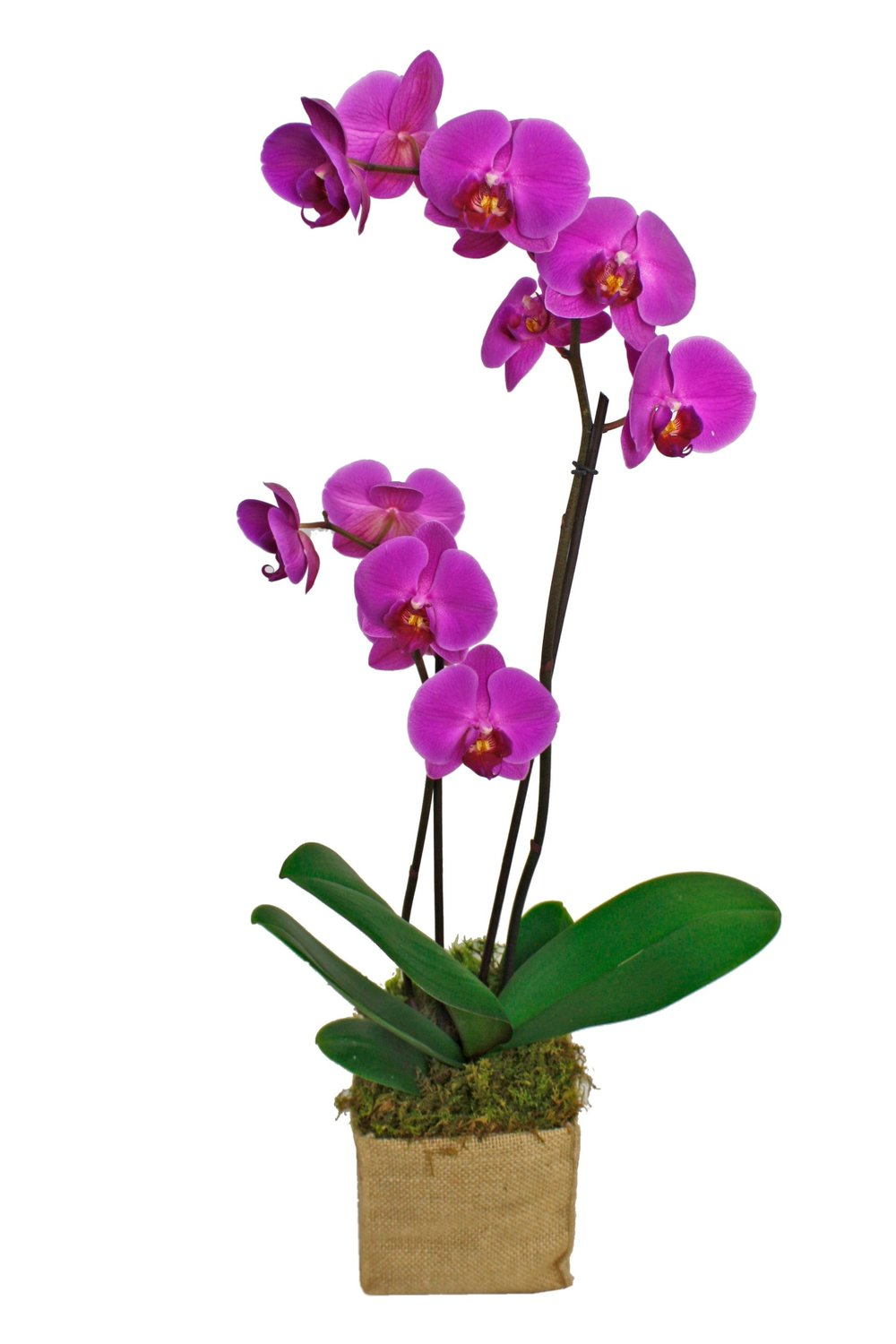 Rustic Orchid Plant $75-$125 -