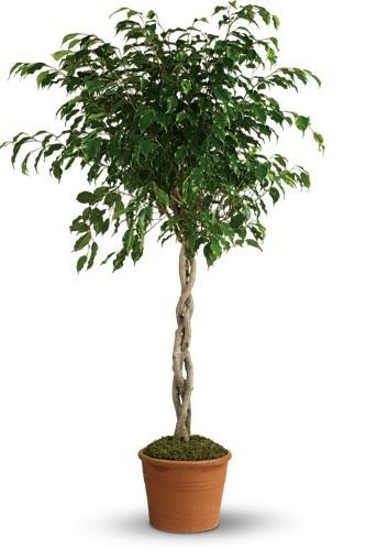 Towering Ficus $100-$175 -