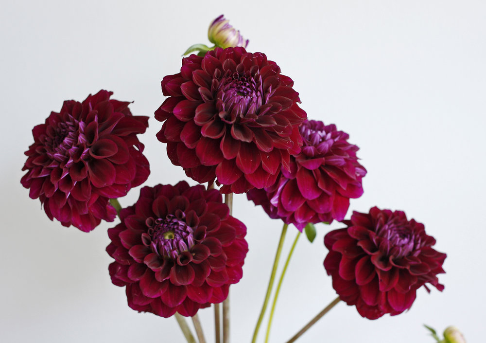 Dahlia grown on our own flower farm last year!
