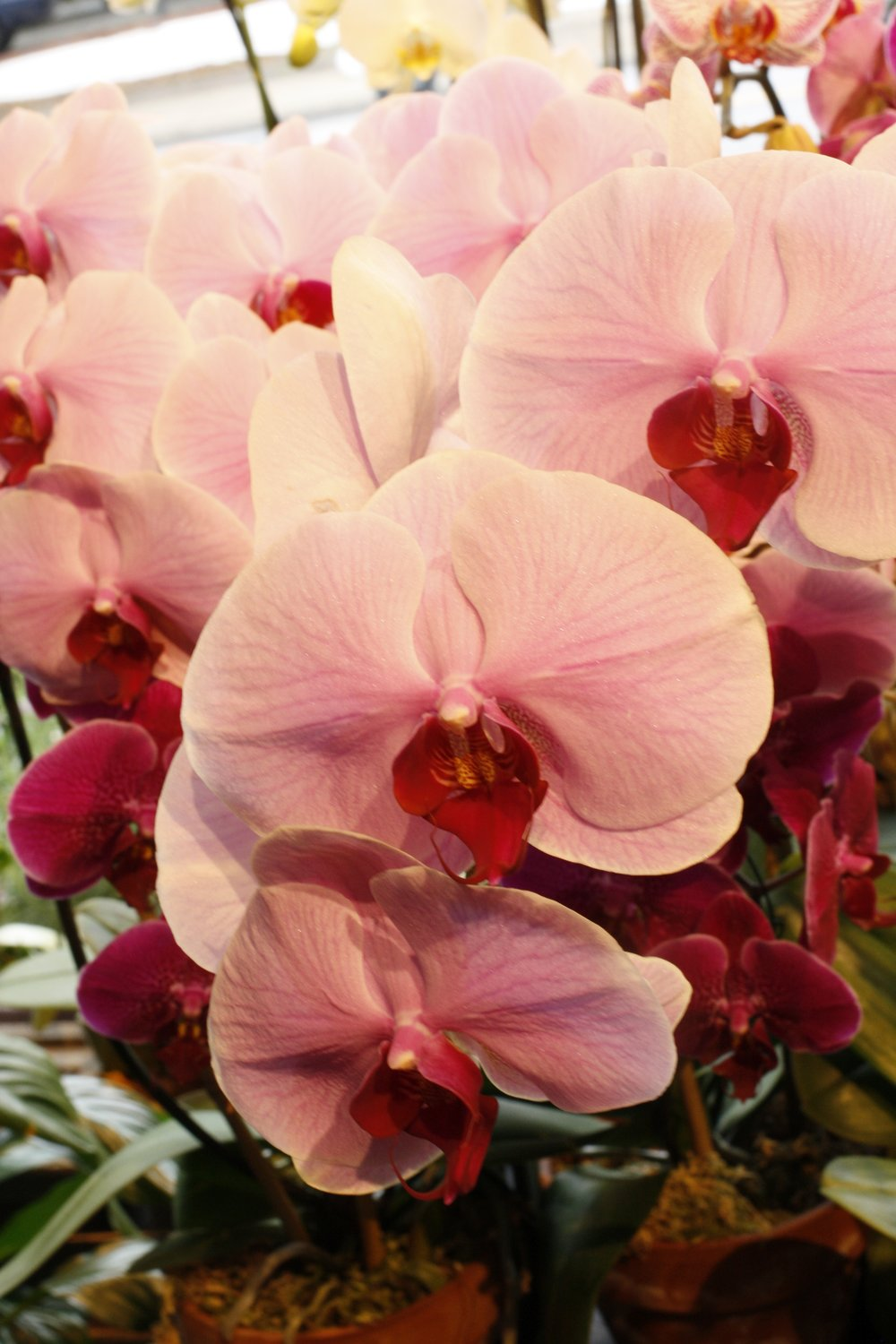 Peach phaleonopsis orchid with red throat