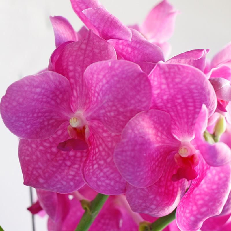 Vanda Orchid - vibrant fuscia blooms