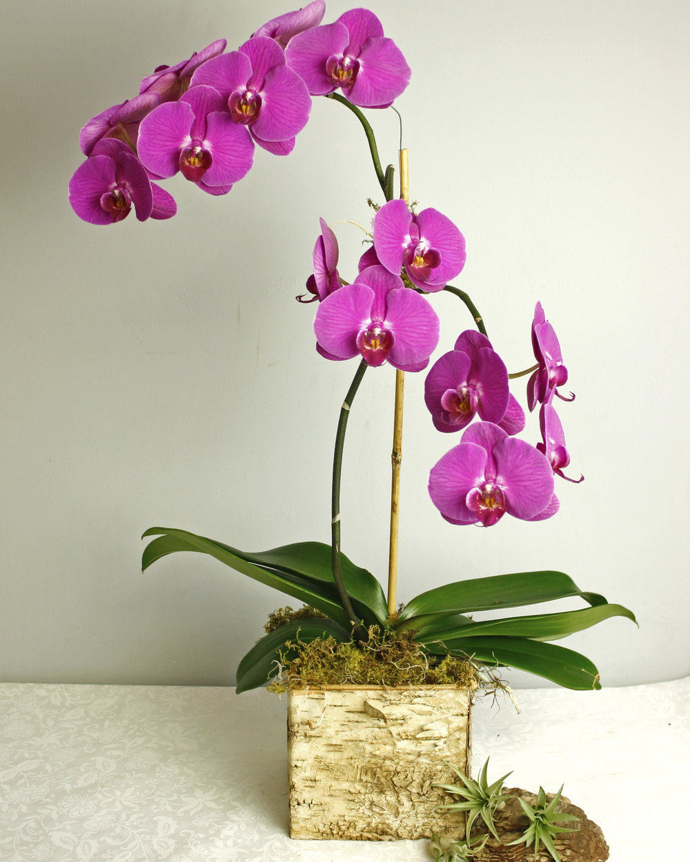 Passion Orchid - phaleonopsis orchid in birch bark cube, very popular and stylish!