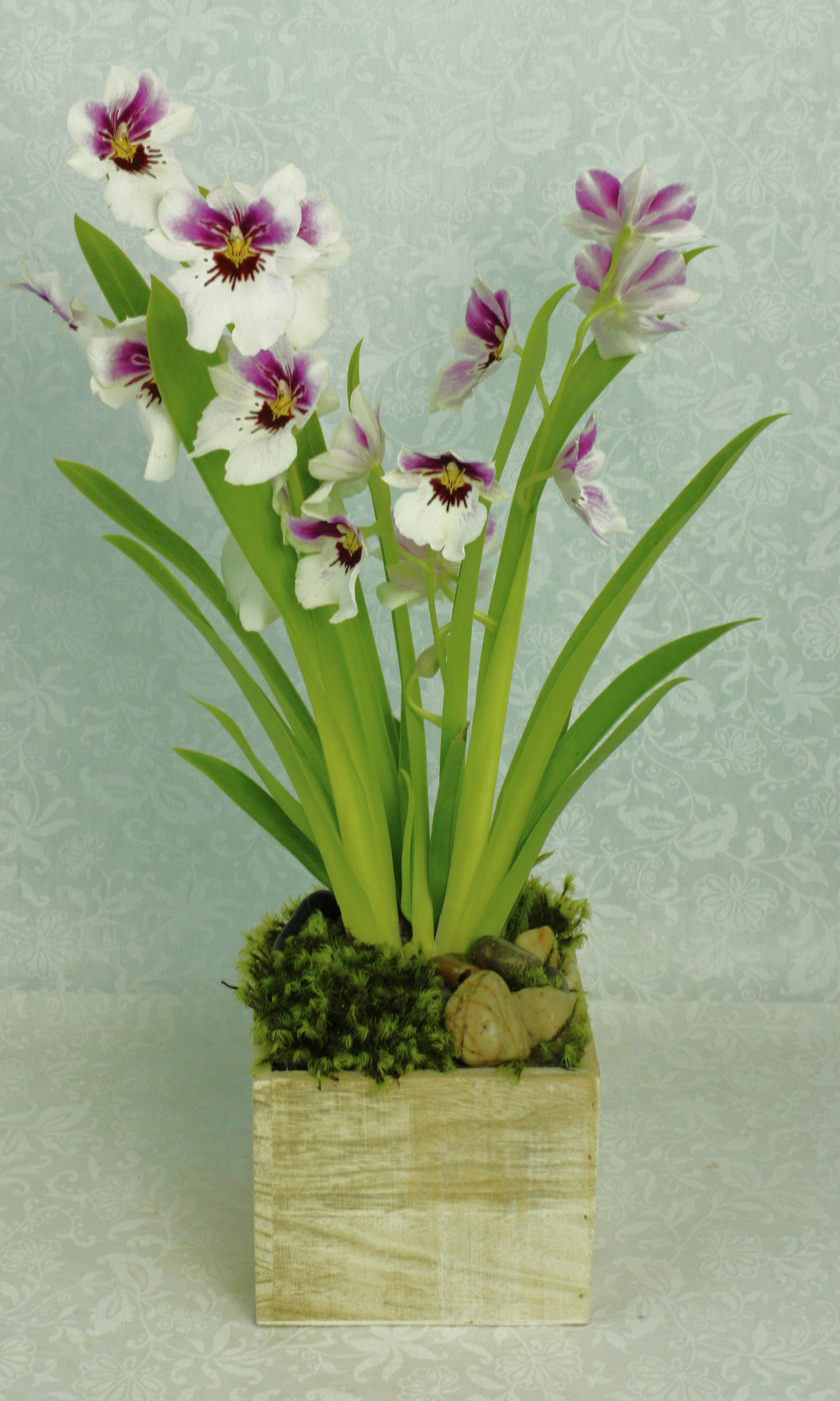 Pansy Orchid - very popular when they are in season, they have a lovely fragrance and large blooms