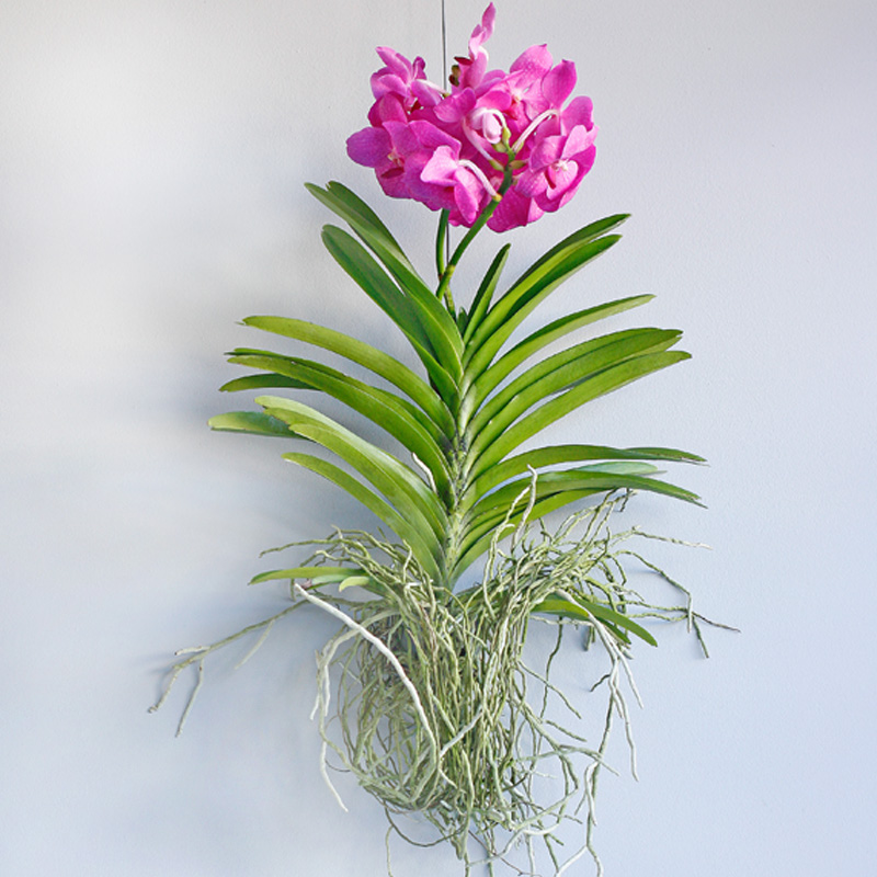 Hanging vanda orchid - stunning large blooms!