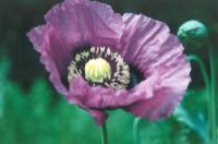 800px-Poppy-purple.png