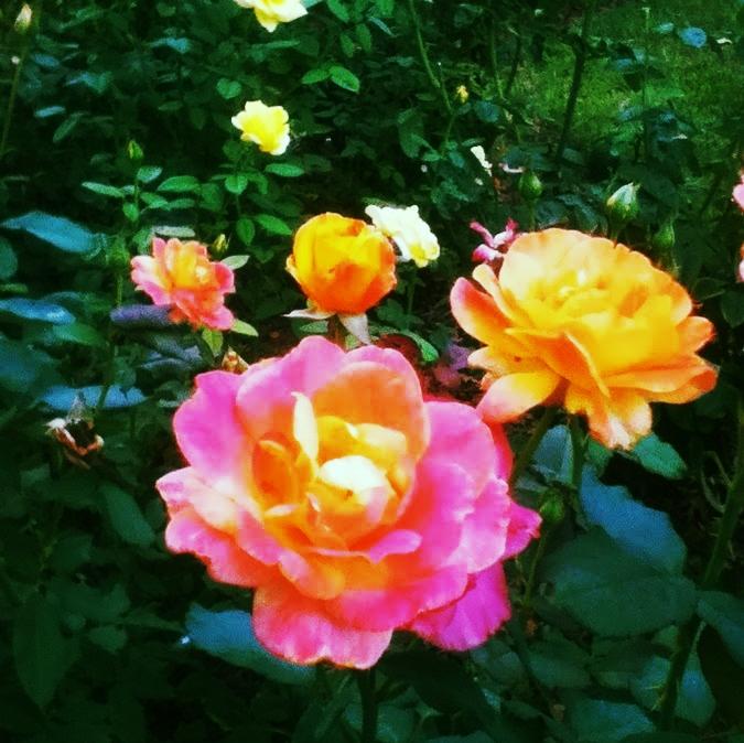 Amy_roses.jpg