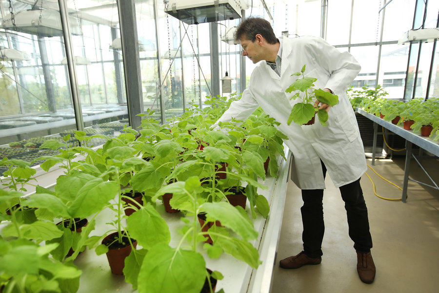 Icon Genetics' Dr. Frank Thieme selects samples of Nicotiana benthamiana, a relative of tobacco, growing in a company greenhouse in Halle, Germany. The company uses the plants to produce antibodies that could be helpful for increasing supplies of ZMapp. Sean Gallup/Getty Images. http://www.npr.org/sections/health-shots/2014/10/10/355184997/answering-your-questions-about-ebola-treatments-and-vaccines