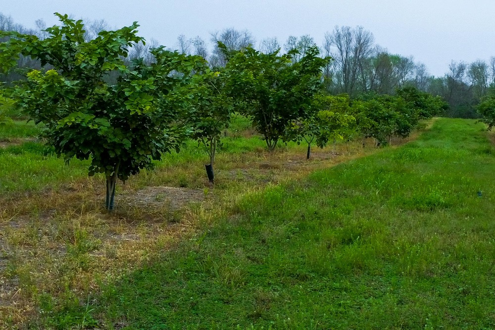 Pongamia orchard in Florida at 22 months with no irrigation.