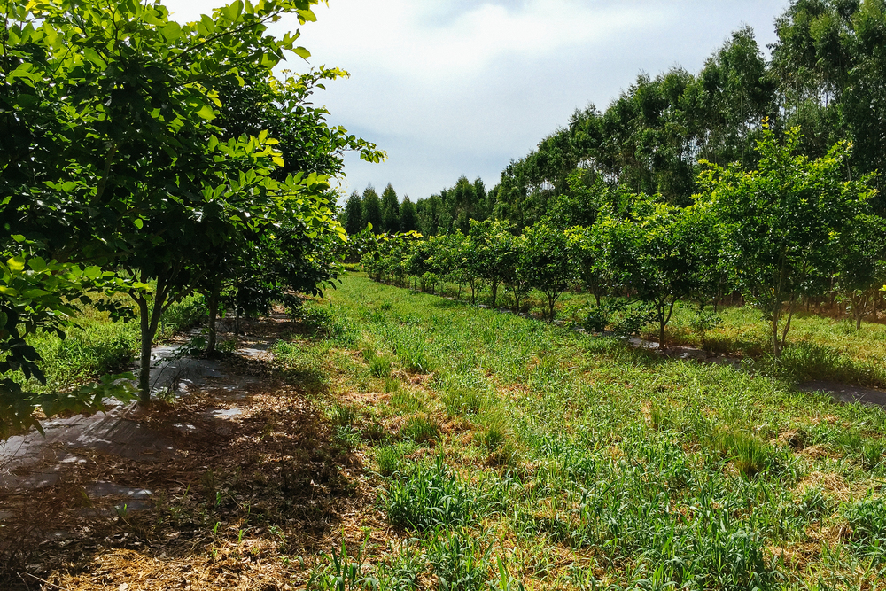 Pongamia orchard in Florida at 26 months with no irrigation or fertilizers.